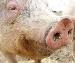 Schwein schlachten